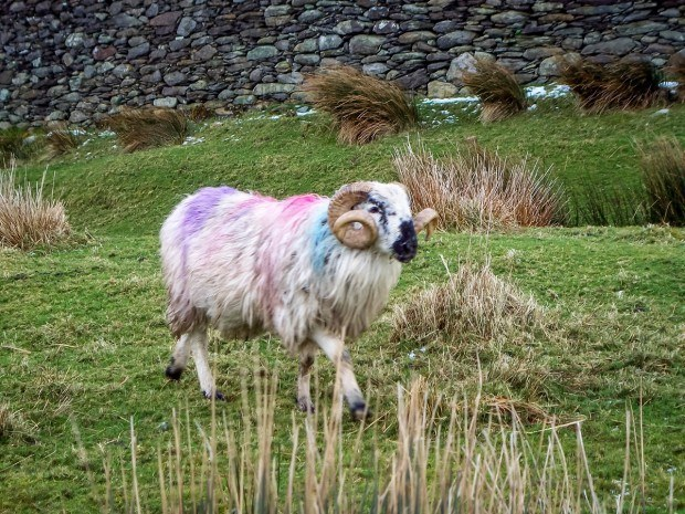 Sheep on Ireland's Ring of Kerry
