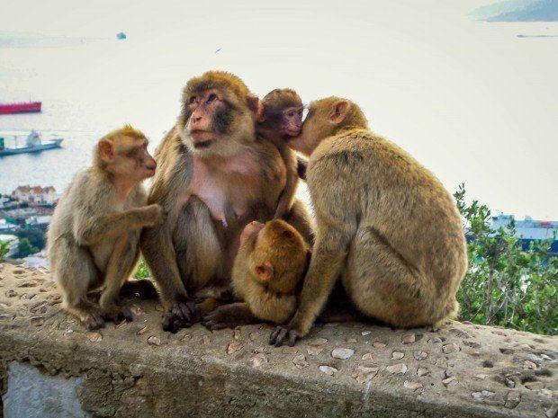 Family of Gibraltar monkeys on The Rock.