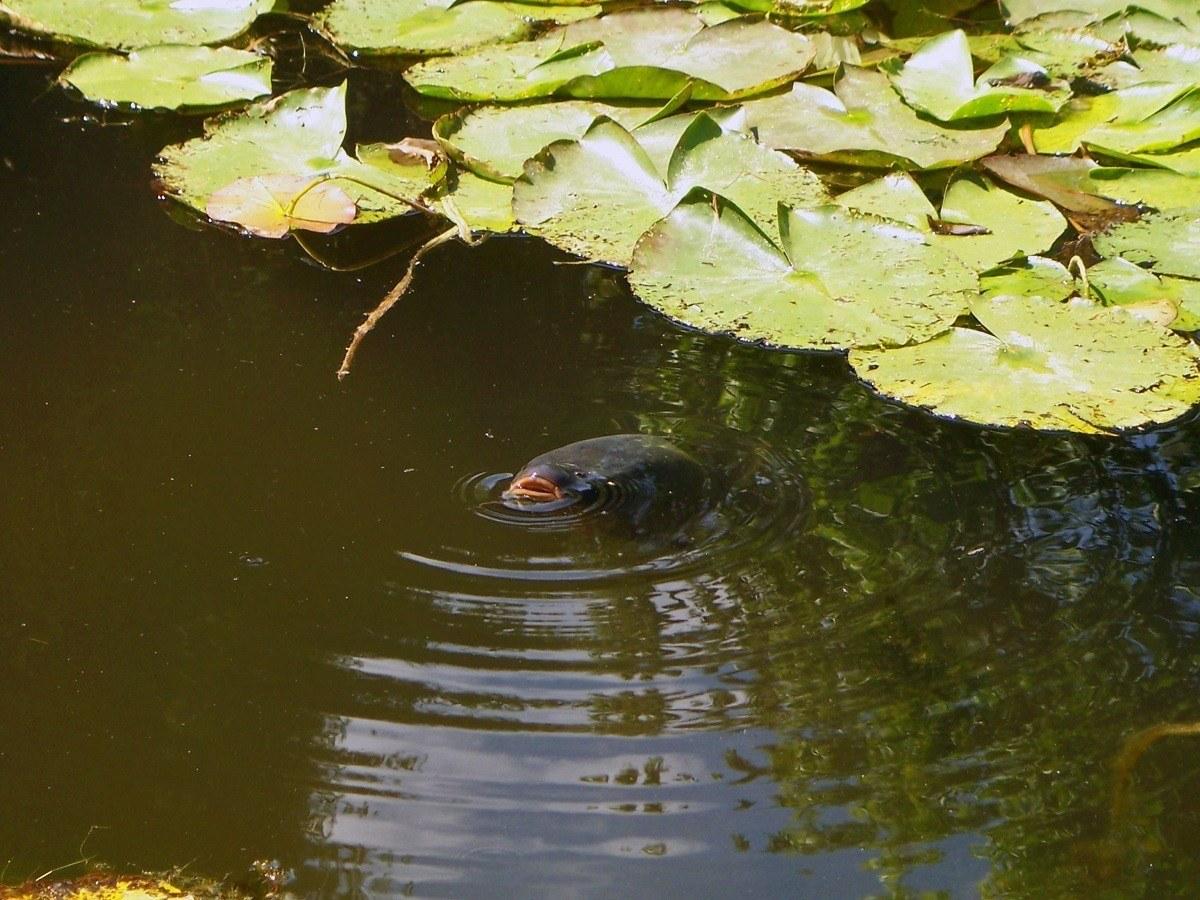 A catfish in Claude Monet's Water Garden.