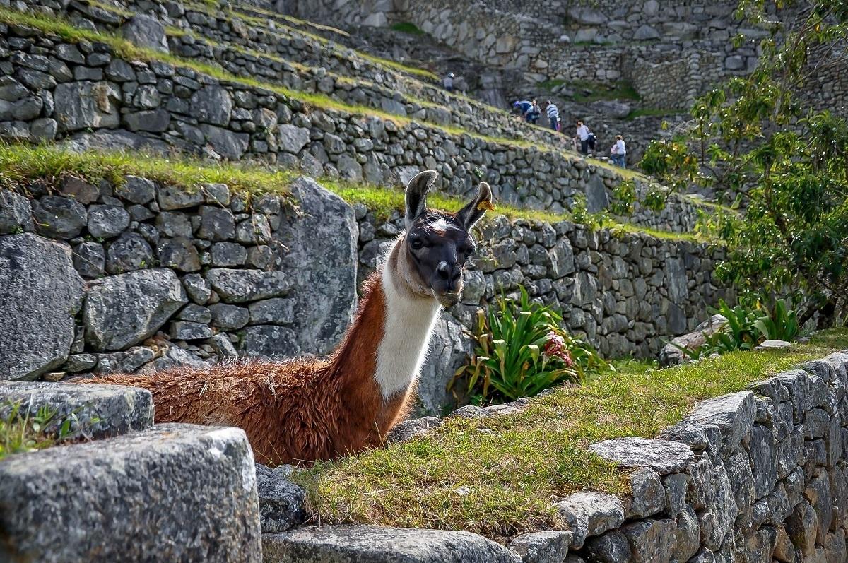 A Llama at Machu Picchu looking at us