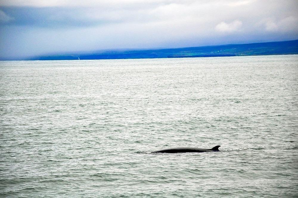 Seeing a Minke whale in Husavik