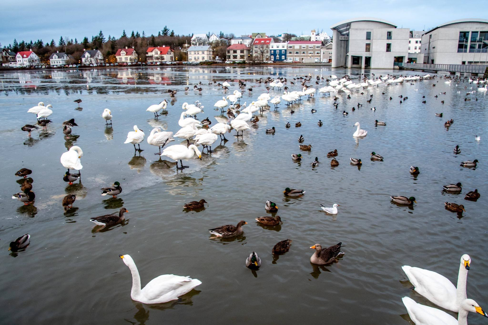 Ducks and swans on the Tjörnin in front of the Reykjavik City Hall.