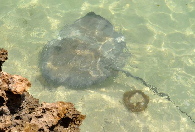 The Stingray Adventure is one of the most popular excursions in Half Moon Cay Bahamas.
