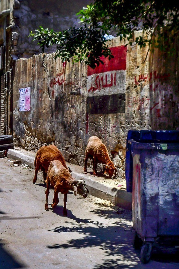 Goats in an alleyway in Alexandria Egypt