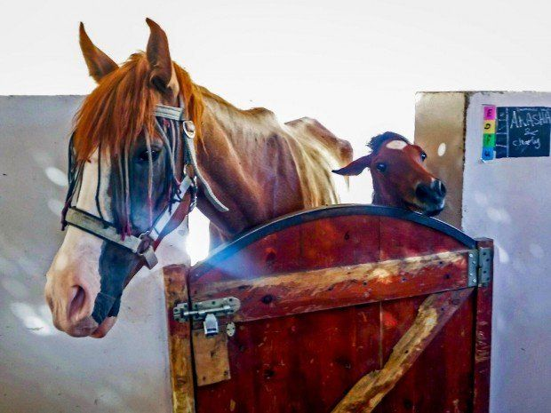 Horses in a pen