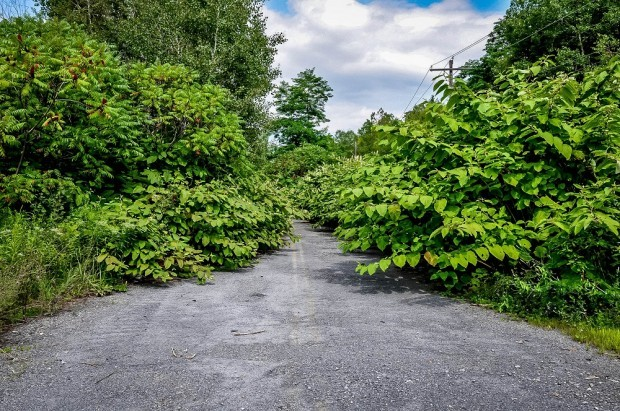 Bushes voer the road in Centralia Pennsylvania
