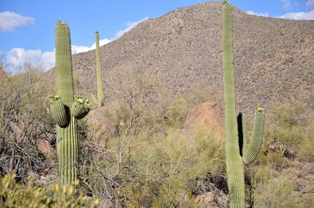 The Giant Saguaro Cacti at the Ritz Carlton Dove Mountain