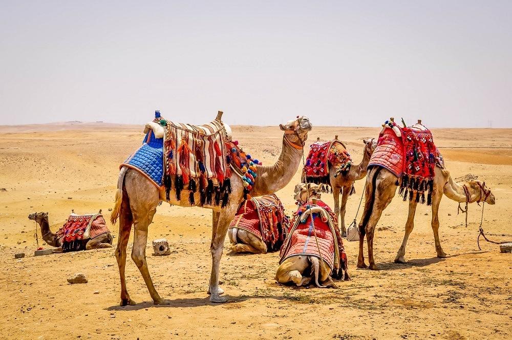 Group of camels at Giza