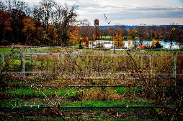The rows of vines at the Vineyard at Hershey, with the pond in the background.  This is one of the top wineries in Central PA.