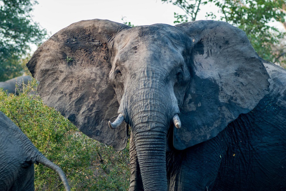 A bull elephant in the Klaserie Nature Reserve in South Africa