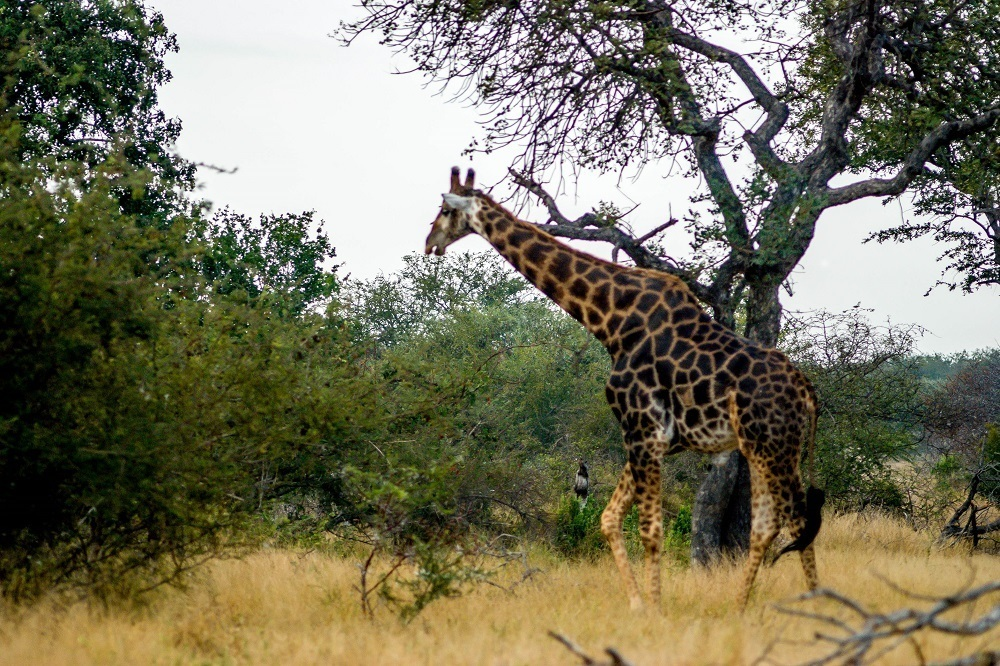 A giraffe in the Klaserie Private Nature Reserve, spotted on a South Africa safari.