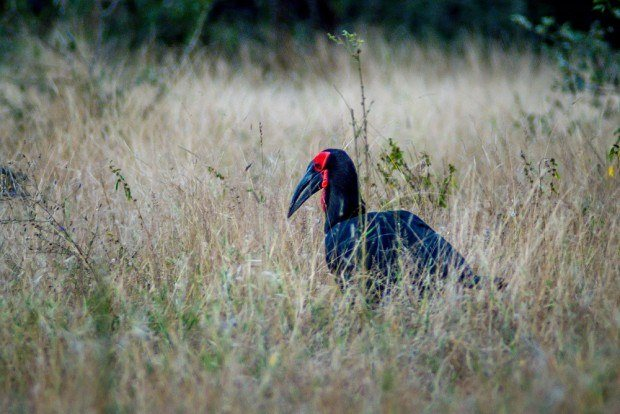A Ground Hornbill spotted on a South Africa safari in the Klaserie Private Nature Reserve.