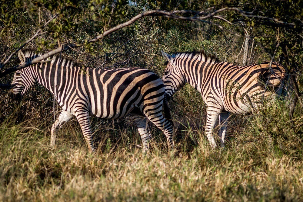 Experiencing zebras at Africa on Foot in the Klaserie Private Nature Reserve.