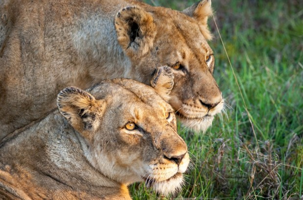 Female lions in the Klaserie Game Reserve, where we did our Big Five Safari