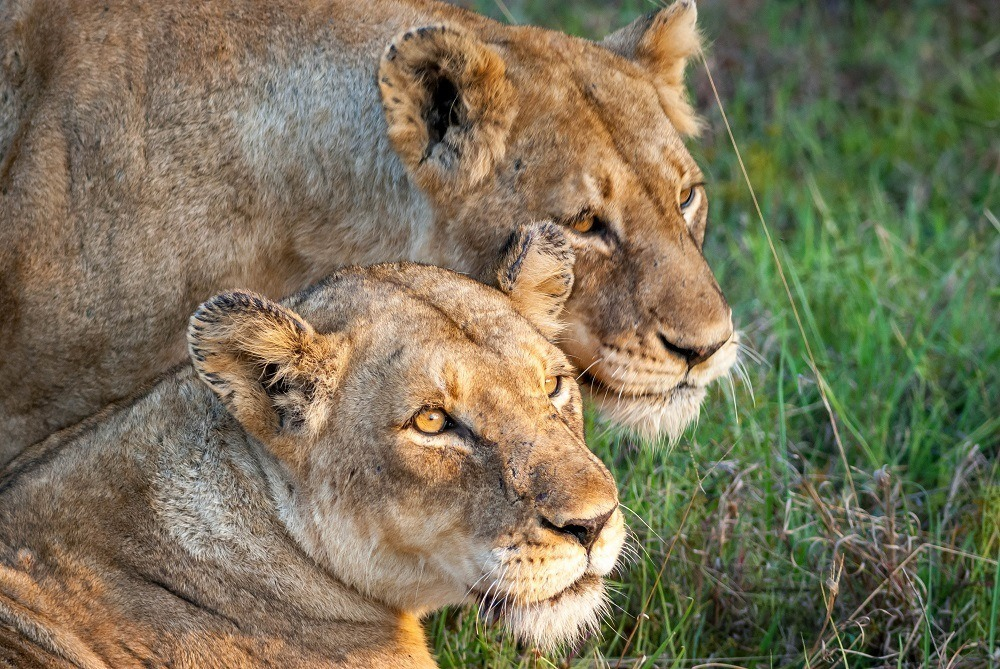 A pair of female lions in the Klaserie Game Reserve on a Big Five Safari