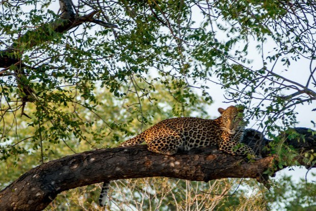 A leopard in a tree on our big five safari in the Klaserie Private Nature Reserve.