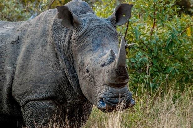 The square-lip rhino (a white rhino) on a Big Five Safari in the Klaserie Reserve
