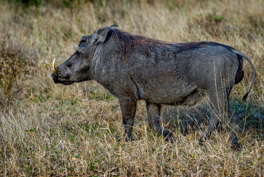 This lone warthog was seen on a South Africa safari in the Greater Kruger National Park.