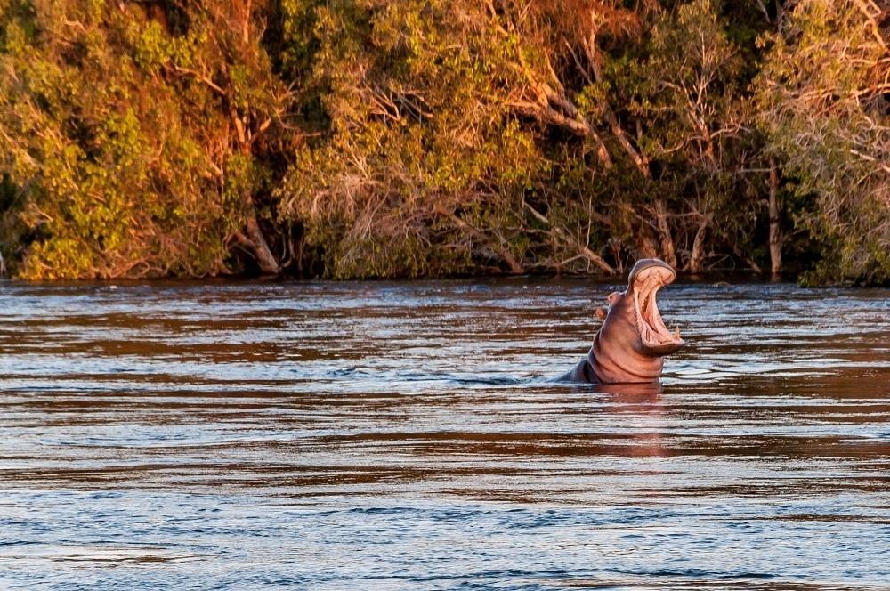 A hippo in the Zambezi River