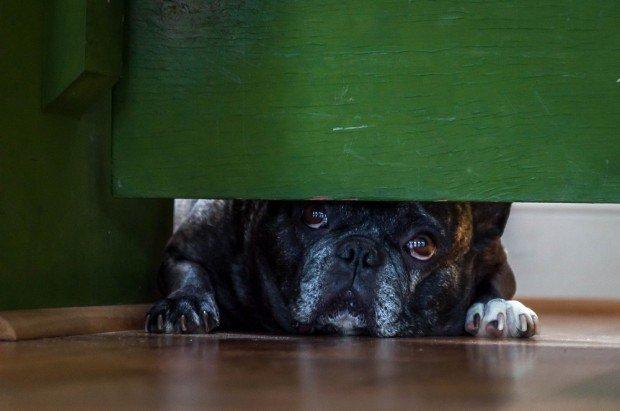 The French Bulldog mascot at the Weston Farm Vineyard & Winery.