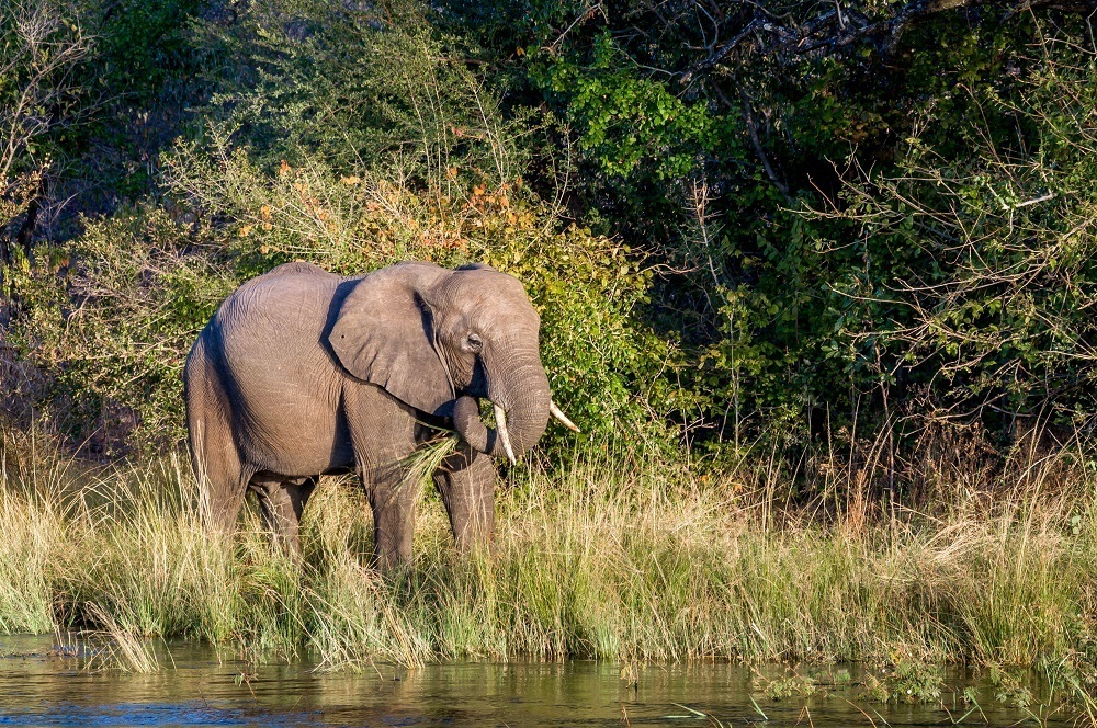 An elephant on the Zambezi River shore in Zimbabwe during our sunset cruise.  We were staying in the Livingstone area at the Islands of Siankaba.