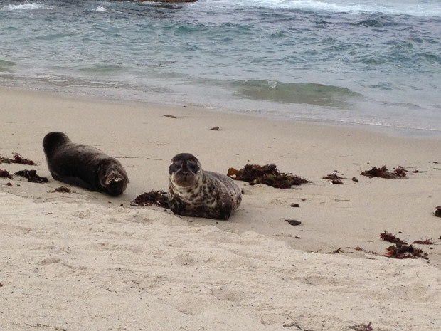 No afternoon at La Jolla Cove would be complete without visiting the resident seals!