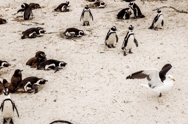 The African Penguins at Boulders Beach are always on the lookout for seagulls.