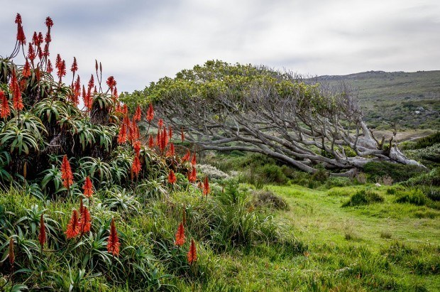 The Fynbos vegetation is a protected plant species and is found nowhere else in the world outside of the Table Mountain National Park area.