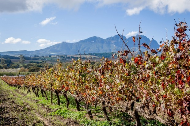 The vineyard at Beyerskloof on the Stellenbosch Wine Route in South Africa