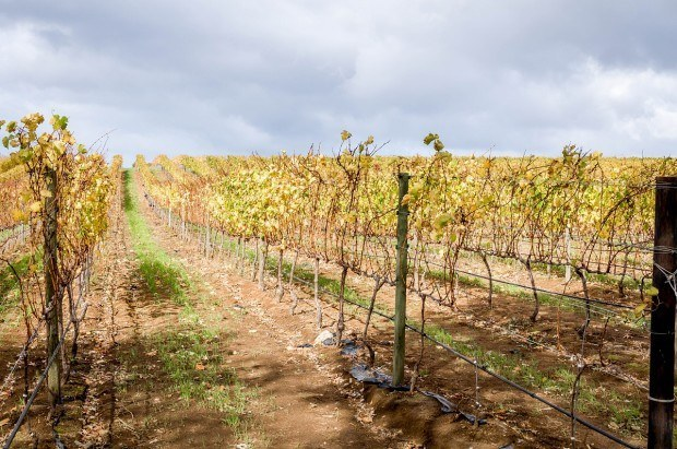 The rows of vines at Groot Constantia in the Western Cape Wine Region, South Africa