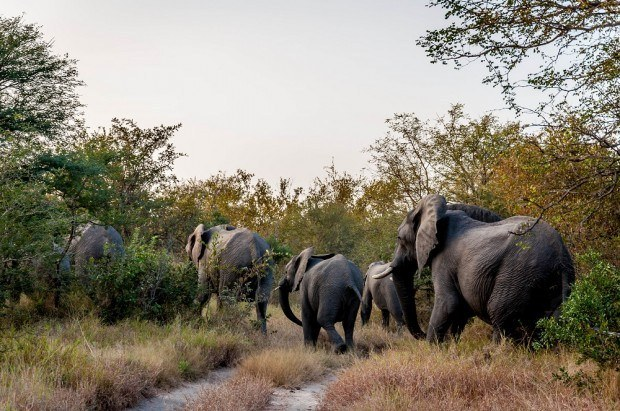 Elephant herd from Kruger National Park in the Klaserie Private Nature Reserve.
