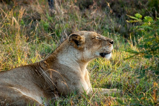 A lioness of The Ross Pride in the Klaserie Private Nature Reserve.