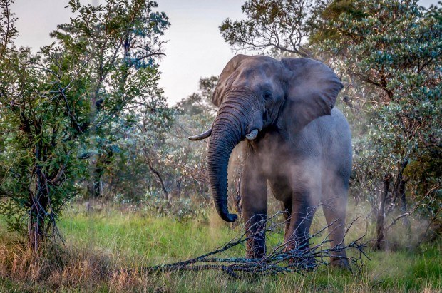 A bull elephant near nThambo Tree Camp outside of Kruger National Park in South Africa.