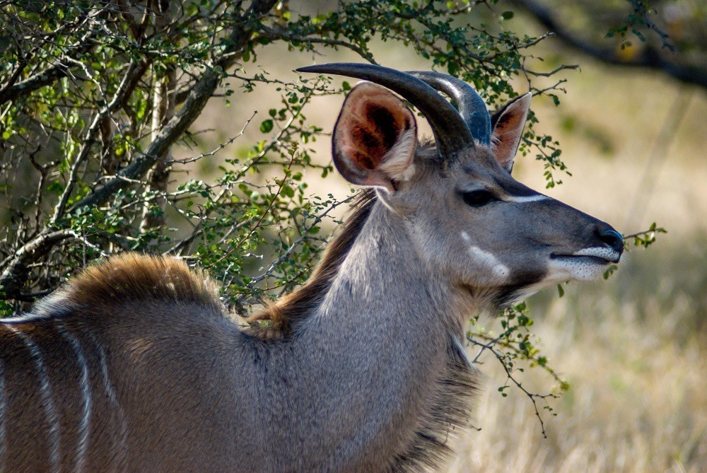 A kudu in the Klaserie Private Nature Reserve.