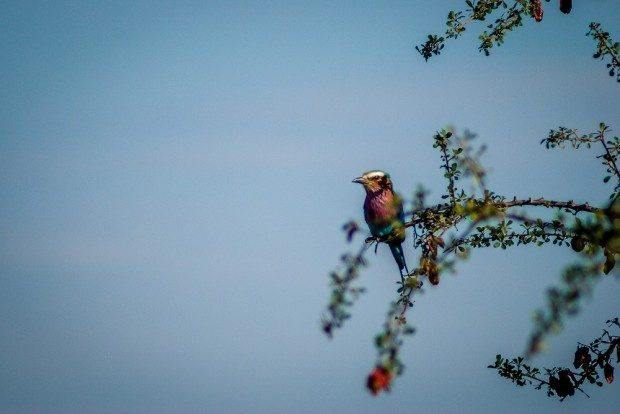 A lilac breasted roller in the Klaserie Private Nature Reserve.