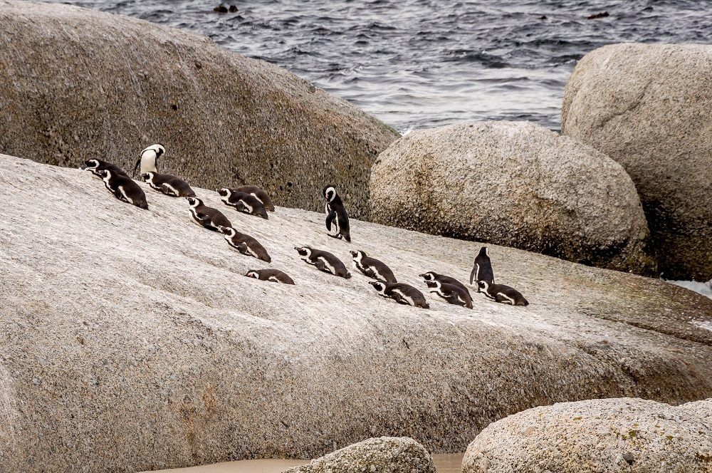 Group of penguins on rock at Boulder's Beach in South Africa