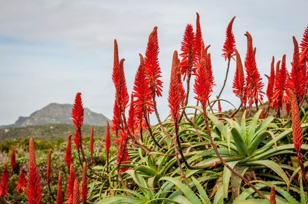 The vegetation in Table Mountain National Park on the Cape Peninsula - one of the top things to do in Cape Town.