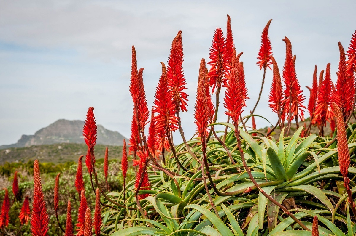 The vegetation in Table Mountain National Park on the Cape Peninsula