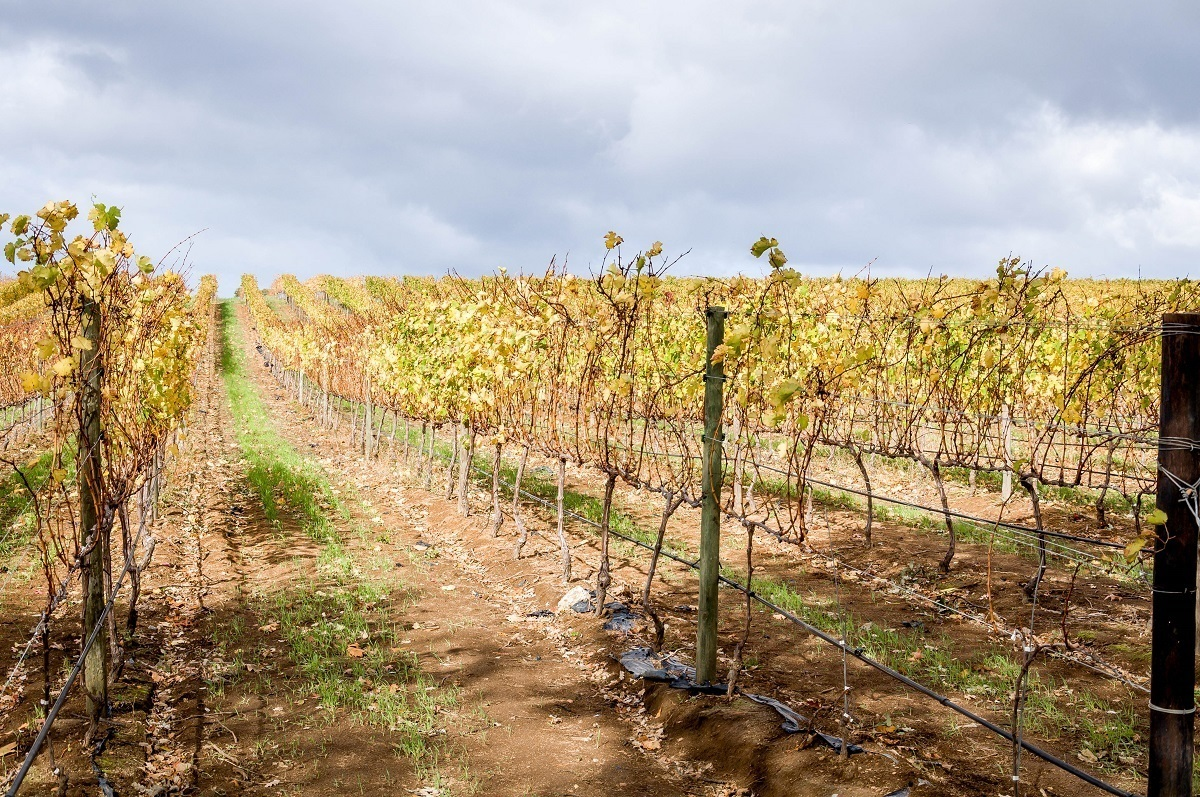 Rows of vines on the Constantia Wine Route and the Stellenbosch Wine Route