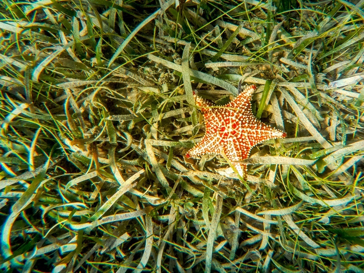 A starfish seen on a bed of sea grass on the ocean floor