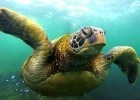 A sea turtle in the Galapagos. © The Legendary Adventures of Anna