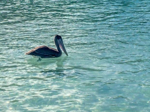 At Magens Bay Beach, the pelicans dive bomb the small fish in the shallow water.