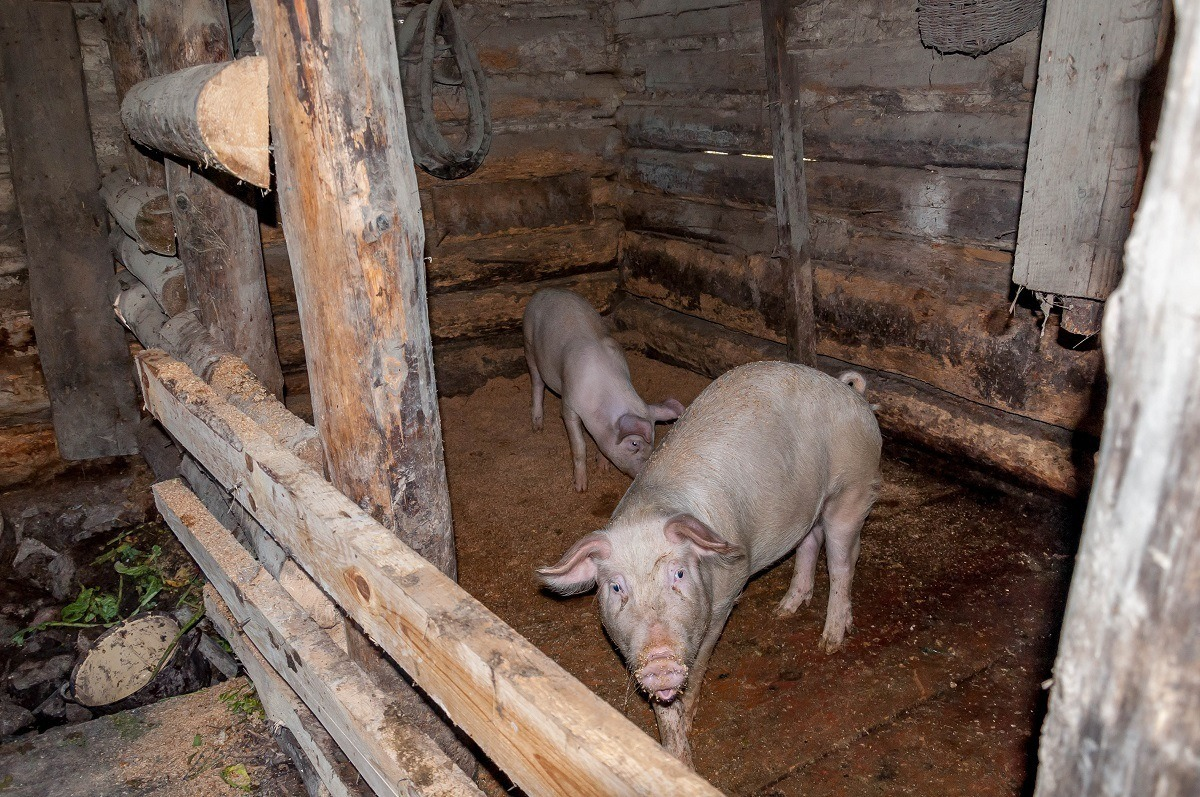 Pigs in the rural village of the Vlkolinec
