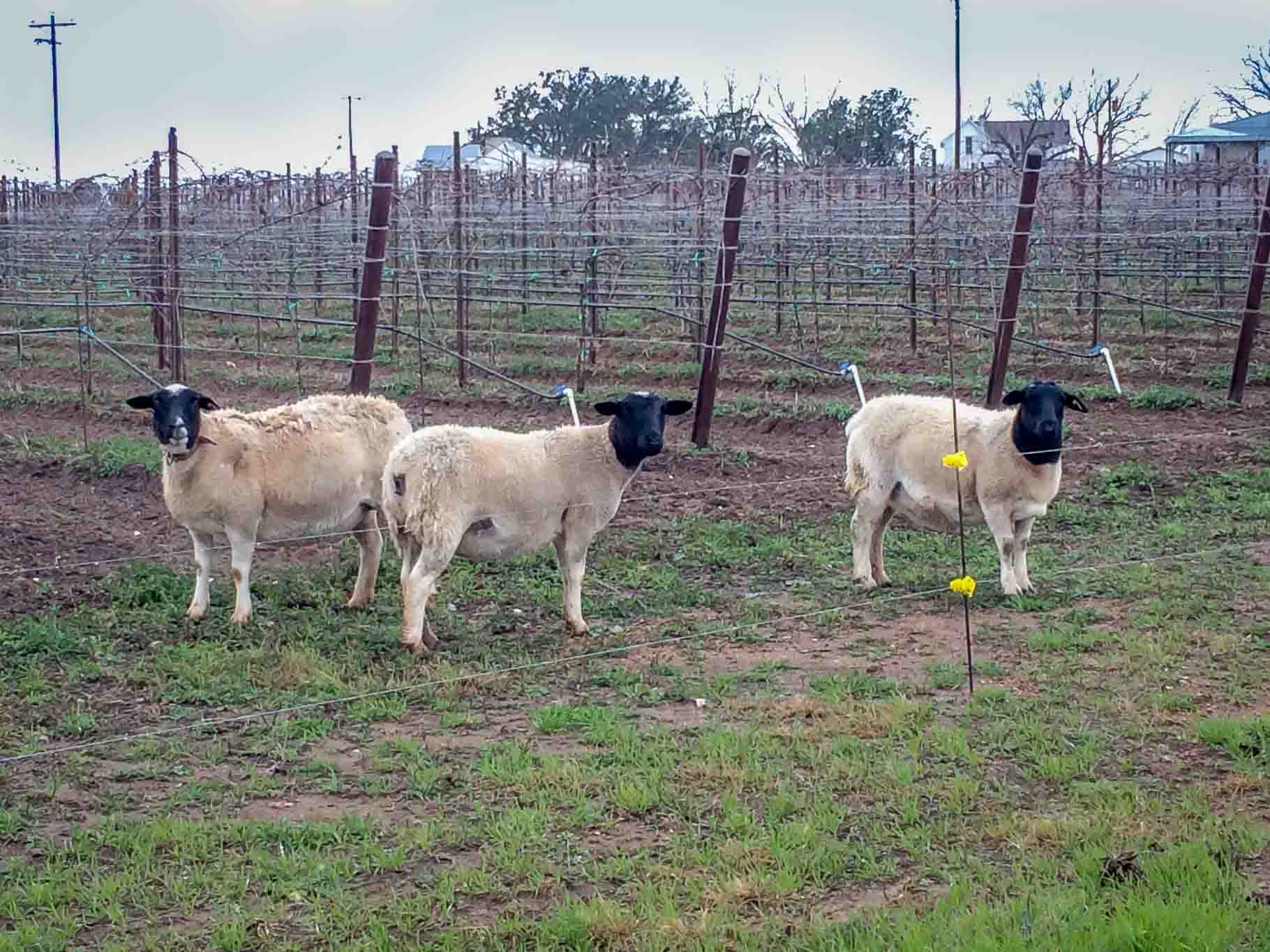 Sheep eating weeds in vineyard at Hilmy Cellars