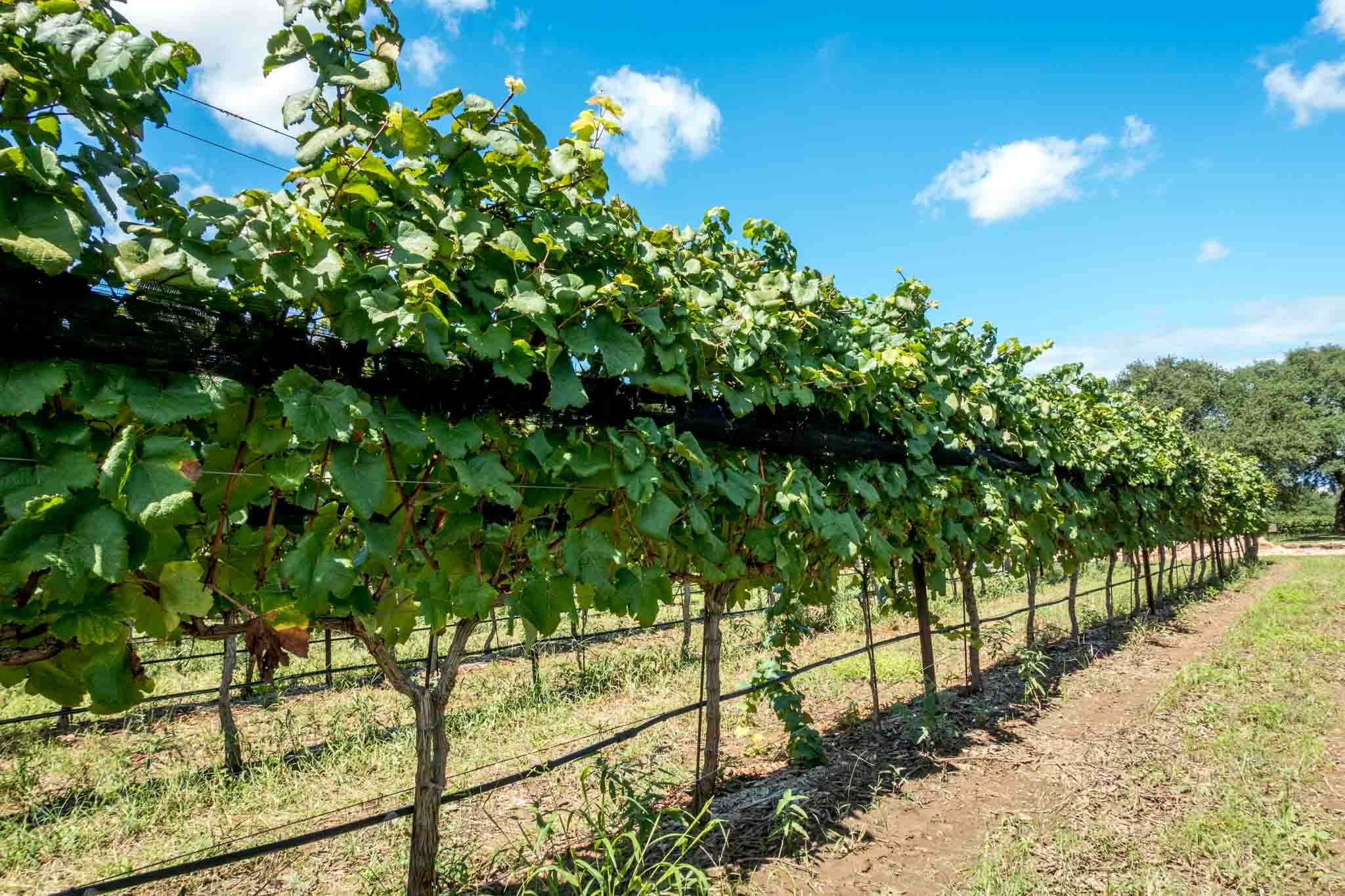 Grapes growing in Fredericksburg vineyard
