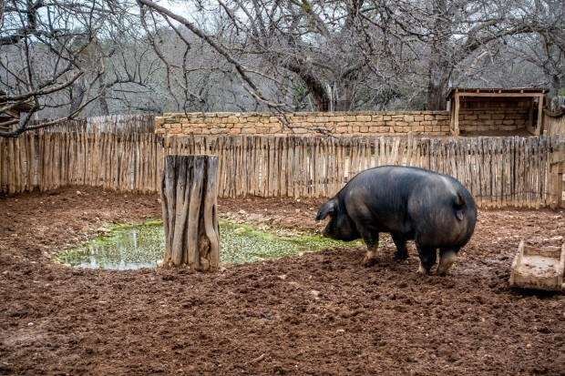 Hog at the Sauer-Beckmann farm at LBJ State Park