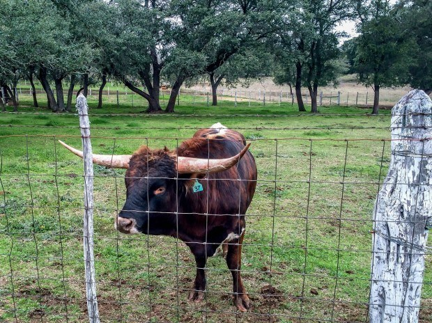 Longhorn at Lyndon B Johnson Ranch