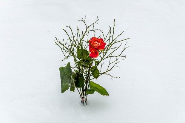 At the Buchenwald Concentration Camp, a single red rose in the snow honors the victims of the Holocaust.