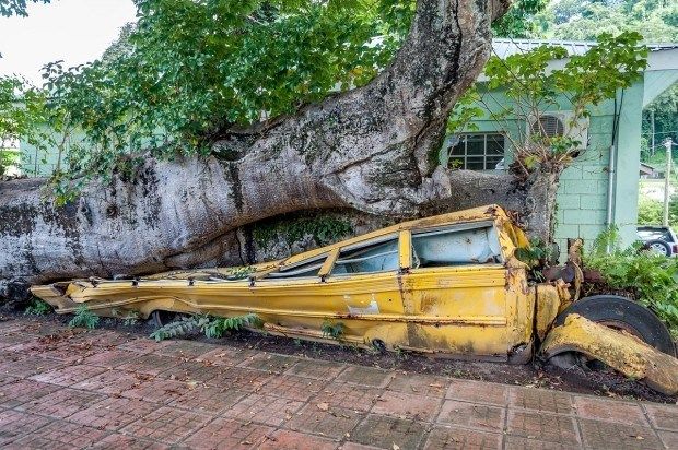 The school bus at the Dominica Botanical Gardens. This bus was crushed under a baobab tree during a hurricane in 1979.