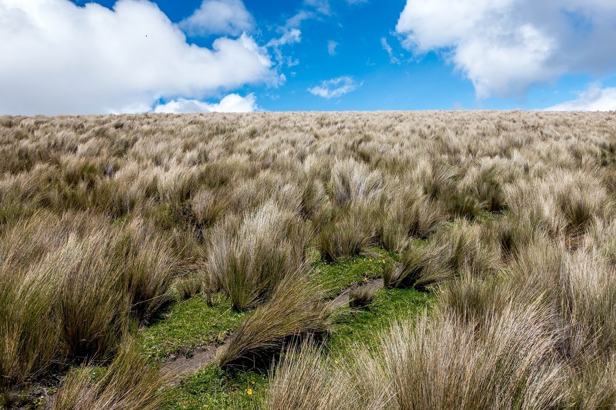 Large grass clumps among the volcanoes